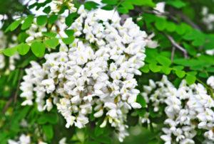 Fiore di Robinia
